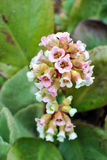 Pink bergenia closeup Stock Photography