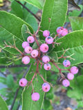 Pink berries on a tree in midatlantic Stock Photo