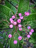 Pink berries on a tree in midatlantic Royalty Free Stock Images