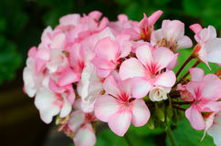 Pink bicolor geraniums Royalty Free Stock Photos