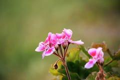 Pink bicolor geraniums in garden Stock Image