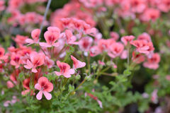 Pink bicolor geraniums. In hotchpotch stock images
