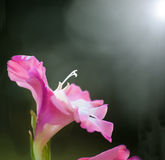 Pink bicolored Gladiolus Stock Photography