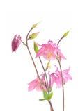 Pink Biedermeier Columbine Flowers Stock Photos
