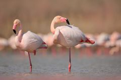 Pink big bird Greater Flamingo, Phoenicopterus ruber, in the water, Camargue, France. Flamingo cleaning plumage. Wildlife animal s. Pink big bird Greater Stock Image