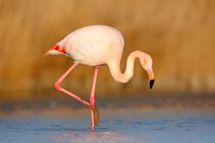 Pink big bird Greater Flamingo, Phoenicopterus ruber, in the water, Camargue, France. Flamingo cleaning plumage. Wildlife animal s. Pink big bird Greater Stock Photos