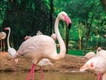 Pink big birds Greater Flamingos in the water cleaning feathers. Royalty Free Stock Photography