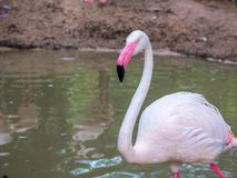 Pink big birds Greater Flamingos in the water cleaning feathers. Royalty Free Stock Photo