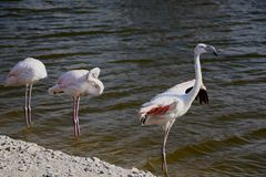Pink big birds Greater Flamingos in the water. Flamingos cleaning feathers. Wildlife animal scene from nature stock photography