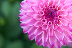 Pink big chrysanthemum flower blooming Royalty Free Stock Image
