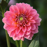 Pink big flowe. R on the flowerbed, dahlia Royalty Free Stock Photography