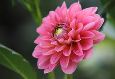 Pink big flower. On the flowerbed,dahlia Royalty Free Stock Photo