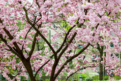 Pink, big japanese cherry tree Stock Image