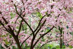 Pink, big japanese cherry tree Stock Image