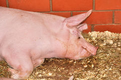 Pink big pig Stock Photo