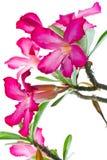 Pink Bignonia Royalty Free Stock Image