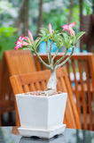 Pink Bignonia, Desert rose, Impala Lily. The Desert rose is in a white flowerpot Stock Photography