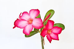 Isolated pink bignonia flowers. Pink bignonia flowers on white background royalty free stock photography