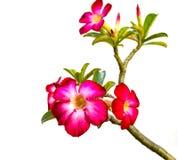 Pink Bigononia or Desert Rose Stock Photos