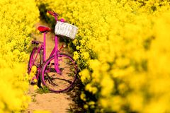 Pink bike in the field of rape. Pink bike with white basket standing in the field of yellow rape Stock Photo
