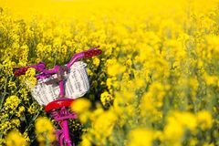 Pink bike in the field of. Pink bike with white basket standing in the field of yellow royalty free stock images