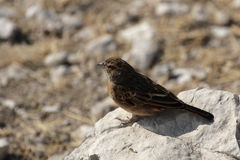 Pink-billed Lark Royalty Free Stock Photography