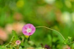 Pink bindweed flower. Royalty Free Stock Photo