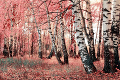 Pink birch grove Stock Images