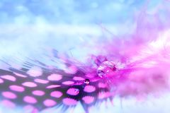 Pink bird feather with a drop of water on a blue background. With bokeh royalty free stock photos