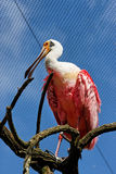 Pink Bird with Odd Shaped Nose. A pink and white feathered bird on a branch with a yellow odd shaped nose in Itatiba zoo, Sao Paulo, Brazil Stock Image