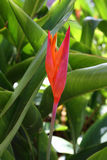 Pink bird of paradise flower  in green garden Royalty Free Stock Image
