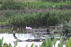 Pink birds in Florida swamp. Pink Roseate Spoonbill in Florida swamp stock photos