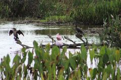 pink birds in Florida swamp stock photo
