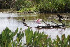 Pink birds in Florida swamp. Pink Roseate Spoonbill in Florida swamp royalty free stock images