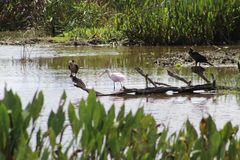 Pink birds in Florida swamp. Pink Roseate Spoonbill in Florida swamp stock image
