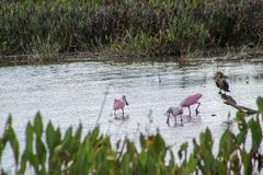 pink birds in Florida swamp stock image