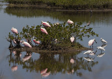 Pink birds in mangrove. Flock of pink wading birds in mangrove reflected in still waters Stock Image