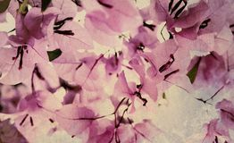 Pink and Black Bougainvillea textured art. Print royalty free stock photography