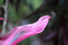 Pink with black exotic plant leaf - beautiful natural background Stock Image