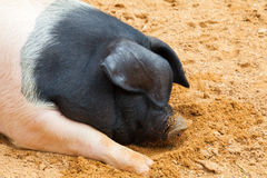 Pink and black pig while sleeping outside the farm Stock Photos