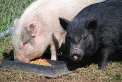 Pink and black pigs eat. A pink pig and a black pig eat from a trough on a farm in Southern Georgia, USA royalty free stock photos