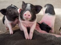Pink and black pigs kissing showing love and friendship. In the farm Royalty Free Stock Image