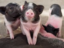 Pink and black pigs kissing showing love and friendship. In the farm Royalty Free Stock Photo