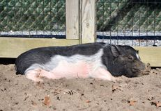 Pot-bellied Pig. A pink and black pot bellied pig relaxing in the mud on a sunny day at the petting zoo stock photography
