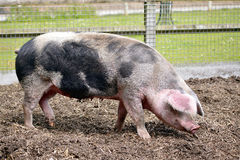 Pink and black sow Royalty Free Stock Images