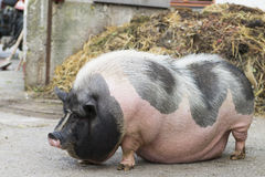 Pink and black speckled pot-bellied pig. Stands in front of dungheap stock images