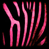 Pink and black zebra background Royalty Free Stock Images