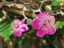 Blackberry flower, Morus Nigra. Pink Blackberry or Mulberry flower, morus nigra royalty free stock image