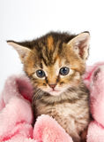 Pink blanket wrapped around little kitten Royalty Free Stock Photography