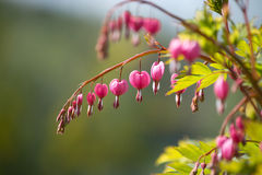 Pink bleeding heart Stock Image